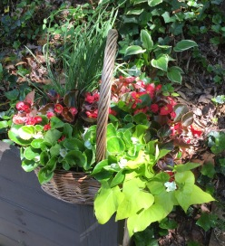A simple arrangement: Lemongrass, Begonias, and Sweet Potato Vine